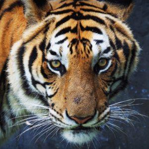 Triángulo de oro – Safari de Tigres
